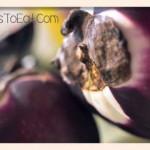 sicilian style eggplants